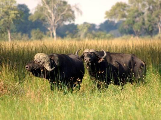 Buffalo, Okavango Delta