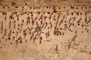 Carmine bee-eater nests