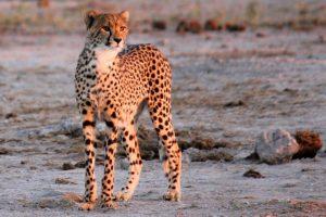 Alert cheetah, Kalahari