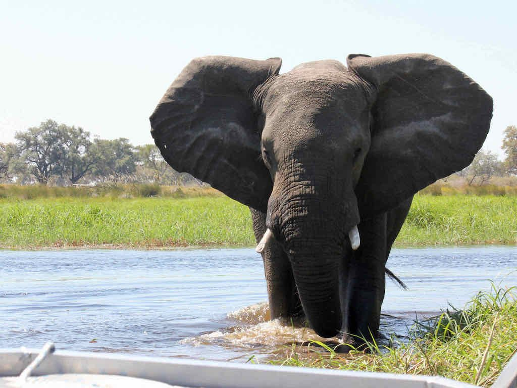 Elephant close to the boat, Okavango Delta