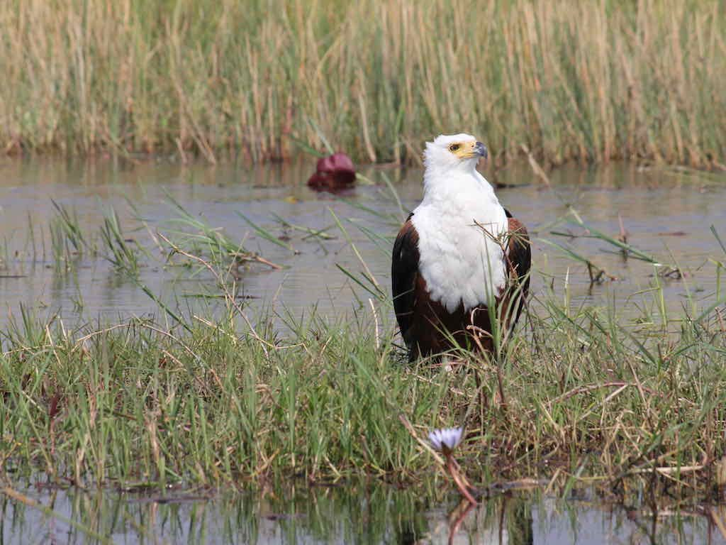 Fish eagle, Okavango Delta
