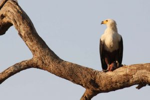 Fish eagle with kill in tree