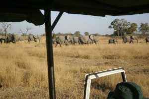 Elephant herd passing on a game drive