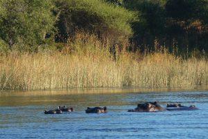 Submerged hippo pod