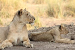 Alert lioness and cub