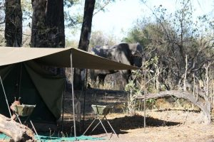 Elephant at mobile tented camp