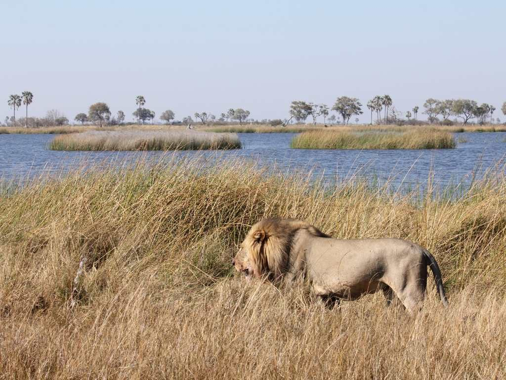 Lion, Okavango Delta