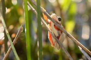 Reed frog