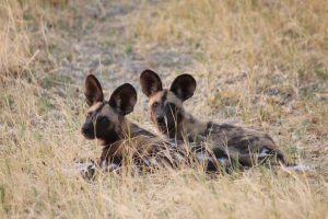 Two wild dogs sitting on ground