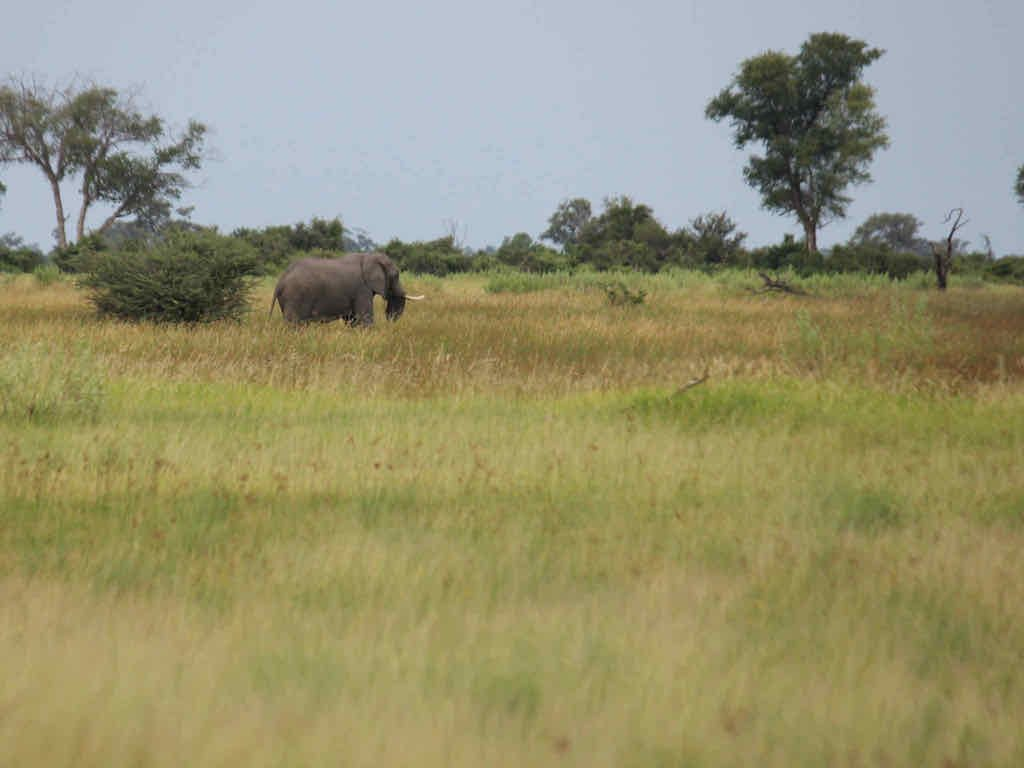 Elephant spotted ona walking safari in the Okavango Delta