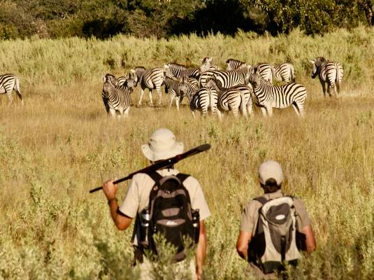 Watching zebra herd on a Botswana walking safari