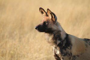 Wild dog, Botswana