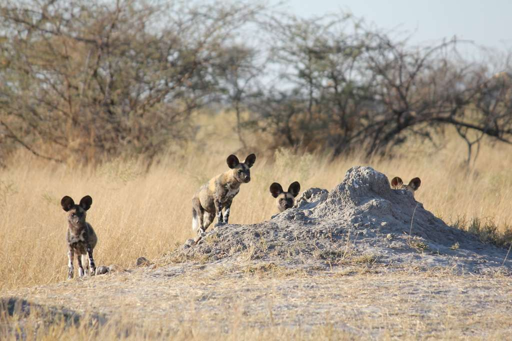 Wild dog pack on a termite mound