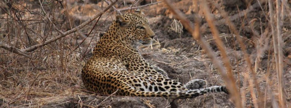 Leopard in the Luangwa Valley, Zambia